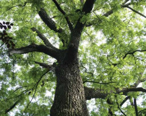 american black walnut tree