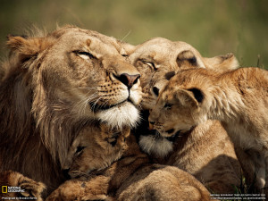 Lion Family Cuddling Animal Picture HD Wallpaper