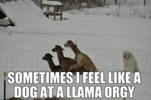 dog at a llama orgy funny quotes