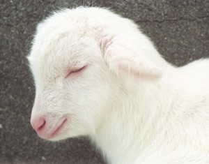 Animal Baby Cute Lamb White Image Favim
