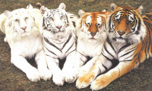 Big Cats Cat Wallpaper
