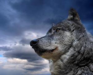 Gray Wolf HD Wallpaper #2693