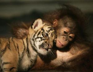 Baby orangutan and tiger cub