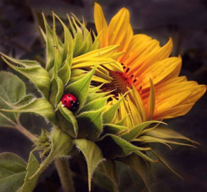 Curled Sunflower and Ladybug via Carol's Country Sunshine on Facebook