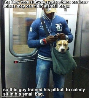 funny-pictures-pit-bull-trained-small-bag-subway.jpg