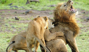 ... lions is unleashed on lone male who wanders too close to female's cubs