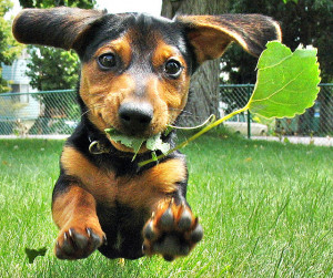 ... edu/afr3/blogs/siowfa12/cute-dachshund-dog-grass-Favim.com-113324.jpg
