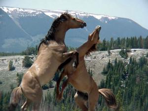 Wild horses fight on the Pryor Mountain National Wild Horse Range ...
