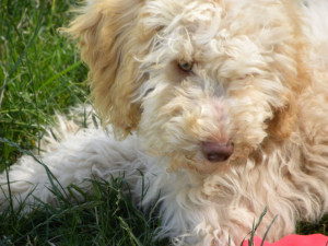 Displaying 19> Images For - Apricot Standard Poodle Puppy Cut...