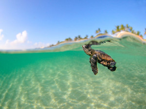 Picture of a baby loggerhead sea turtle in the waters off Florida