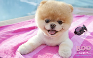 Dogs Est Some Photos Boo The Cutest Dog Pomeranian HD Wallpaper