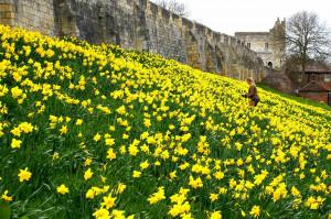 Daffodils, daffodils, everywhere