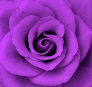 Purple Purple Roses
