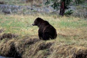 Grizzly Bear Hallo Bay