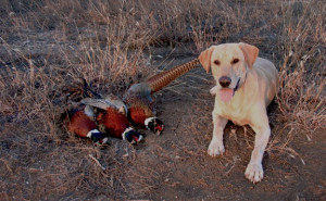 Golden lab on a southern Iowa pheasant hunting trip near Bedford ...