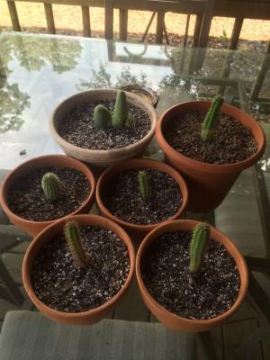 Re: Trichocereus Growers Unite!