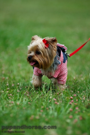 Funny Yorkie Pictures Yorkshire terrier picture