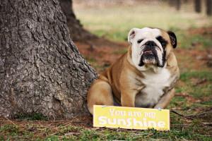 Funny English Bulldog Quotes English bulldog card