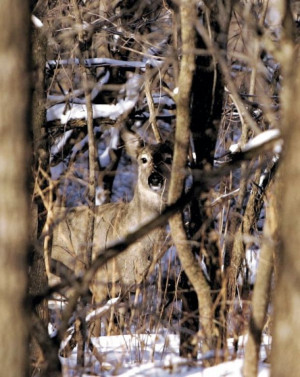 Bow Hunting Deer Quotes Bow hunt to reduce deer at