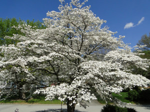 the beautiful dogwood tree is a beautiful flowering tree that can ...