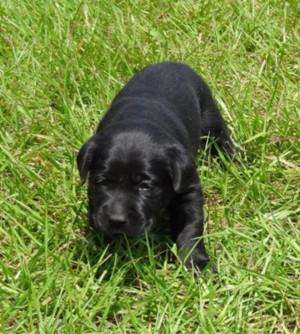 Female Black Labrador Retrievers Puppy 39 s
