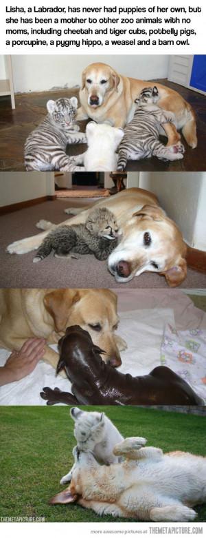 funny labrador puppies sleeping slide