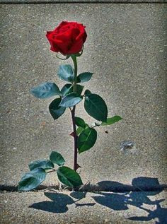 The Rose That Grew From Concrete A Poem By Tupac Amaru Shakur