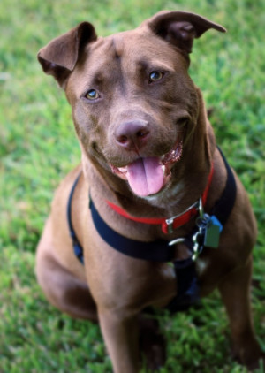 Love my Ginger girl! She's a chocolate lab and pitbull mix (Labrabull ...