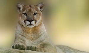 Animal - Cougar Wallpaper