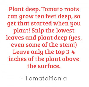 Plant deep. Tomato roots can grow ten feet deep, so