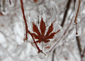 of ice coats the leaf of a Japanese maple tree after an ice storm ...