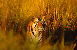 you don't. What would happen if tigers became extinct? Bengal tiger ...