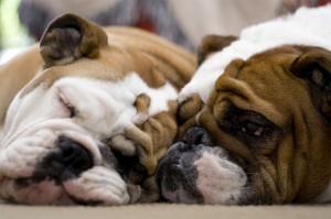 Funny bulldog photo