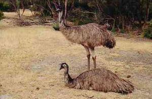 Kangaroo Island Wildlife | Australia Travel Pictures