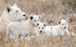 South African trend for breeding unusually coloured animals such as ...