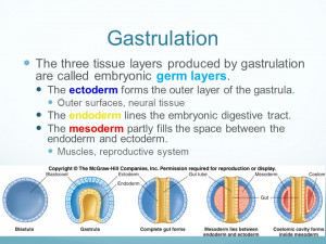 Three Embryonic Germ Layers