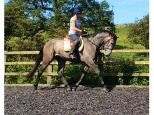... Horses & ponies for sale › All-rounder › Outstanding Homebred Mare