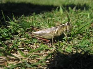 Grasshopper Vector Credited