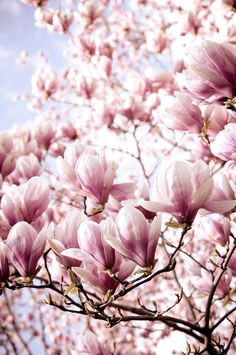 love magnolia trees so much, I fell in love with them in Dublin many ...