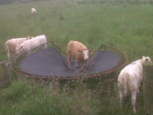funny-pictures-cow-trampoline