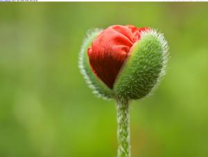 Pin Poppy Flower Memorial