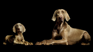 Wallpaper Abyss Explore the Collection Dogs Animal Weimaraner 346900