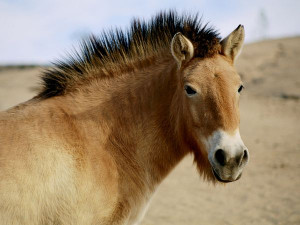 horse, native to Mongolia, is the last remaining breed of wild ...