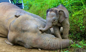 pygmy elephant calf next to its dead mother in Gunung Rara forest ...