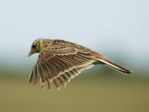 British Birds, Skylark Birds, Birds April, Birds Reference, Birds Club ...