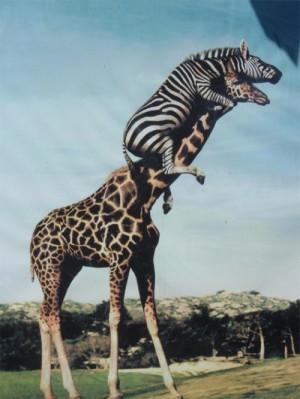 animals, cute animals, funny, giraffe, lol, photography, zebra, zoo