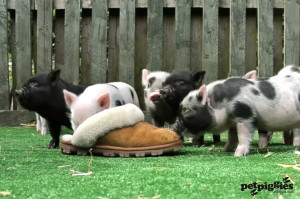 Micro Teacup Pigs Micro pigs are curious by