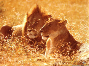... Lioness Love Black And White , Lion Love Quotes , Lion And Lioness