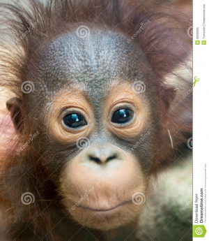 Orangutan Baby With Funny Face Royalty Free Stock Photo Image