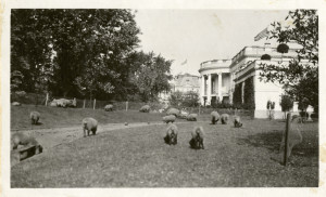 "President Wilson's Sheep at White House"" Photo Credit: Martin A ..."